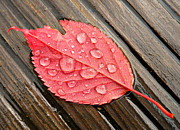 Colorful Photography Framed Prints - Red Leaf In The Rain Framed Print by Paul Causie
