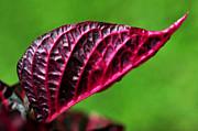 Red Leaf Print by Kaye Menner
