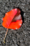Red Leaf On Asphalt Print by Douglas Barnett
