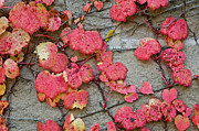 Climbing Prints - Red Leaves Print by Scott Norris