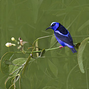 Faunal - Red-legged Honeycreeper - Cyanerpes cyaneus by Heiko Koehrer-Wagner
