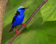 Neotropical Posters - Red-legged Honeycreeper Poster by Tony Beck