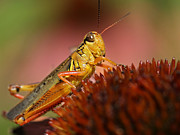 Insect Macro - Red Legged Locust by Juergen Roth