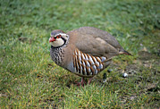 Partridge Posters - Red-legged Partridge Poster by David Aubrey