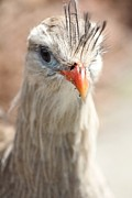 Bridget Finn - Red-legged Seriema