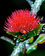 Lehua Pekelo-Stearns - Red Lehua 