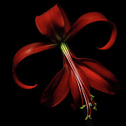 Red Flower Photos - Red Lily by Flower photography by Viorica Maghetiu