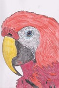 Macaw Drawings - Red Macaw  by Andrew Tuff