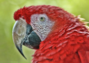 Deborah Benoit - Red Macaw Art