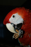 Macaw Photos - Red Macaw by Ernie Echols