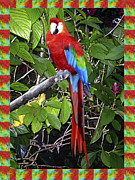 Macaw Prints - Red Macaw Print by Kurt Van Wagner