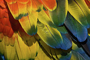 Vibrant Metal Prints - Red Macaw Parrot Feathers Metal Print by Gavin Chapman