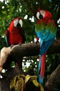Naturaleza Prints - Red Macaws Print by Bibi Romer