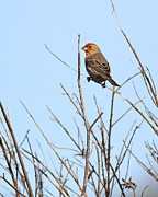 Wingsdomain Art and Photography - Red Male Finch Perched . 7D11053