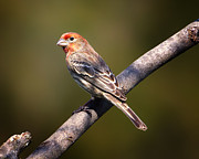 House Finch Posters - Red Male House Finch Poster by Bill Tiepelman