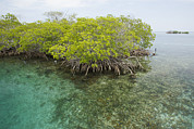 Mangrove Trees Photos - Red Mangrove Trees On An Offshore by Tim Laman