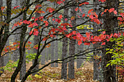 Red Maple Leaves Framed Prints - Red Maple - D004247 Framed Print by Daniel Dempster