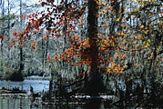 Bald Cypress Prints - Red Maple And Bald Cypress Trees Print by Raymond Gehman