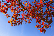 Clear Fall Day Posters - Red Maple In Autumn, Bavaria, Germany Poster by F. Lukasseck