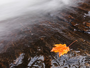 Fallen Leaf Posters - Red Maple Leaf Lying Close to Water Stream Poster by Oleksiy Maksymenko