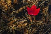 Canadian Photo Framed Prints - Red Maple Leaf On Pine Needles In Pool Framed Print by Mike Grandmailson