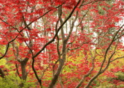 Beautiful Leaves Posters - Red Maple Leaves and Branches Poster by Carol Groenen