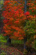 Red Maple Tree Prints - Red Maple Print by Ron Jones