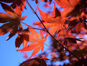Red Maple Tree Photos - Red Maple by Rona Black