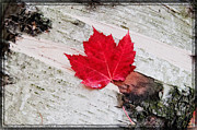 Red Leaves Photos - Red Maple - Semi Abstract   by Thomas Schoeller