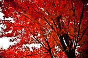 Fallen Leaf Posters - Red Maple Tree Poster by Kamil Swiatek