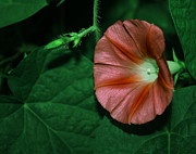 Morning Flower Prints - Red Morning Glory 2 Print by Marjorie Imbeau