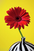 Red Vase Acrylic Prints - Red mum against yellow background Acrylic Print by Garry Gay