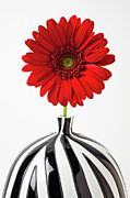 Chrysanthemums  Posters - Red mum in striped vase Poster by Garry Gay