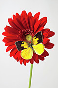 Chrysanthemums  Posters - Red mum with Dogface butterfly Poster by Garry Gay