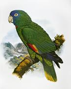 Amazon Parrot Prints - Red-necked Amazon Parrot Print by Granger