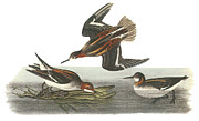 Shorebird Paintings - Red-necked Phalarope by John James Audubon