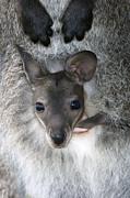 Wallaby Photos - Red-necked Wallaby Joey by Tony Camacho
