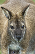 Wallaby Photos - Red-necked Wallaby by Tony Camacho