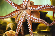 Aquarium Prints - Red Octopus Print by Marilyn Hunt