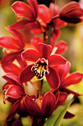 Vibrant Metal Prints - Red Orchid Flowers Metal Print by Dan Pfeffer