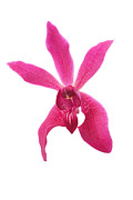 Lifestyle Prints - Red Orchid Head Print by Atiketta Sangasaeng