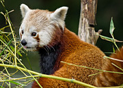 Critter Photos - Red Panda Curiousity by Greg Nyquist