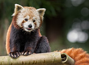 Critter Prints - Red Panda Fascination Print by Greg Nyquist