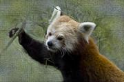 Red Panda Print by Heiko Koehrer-Wagner