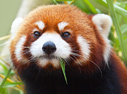 Asian Wildlife Prints - Red Panda Print by MotHaiBaPhoto Prints