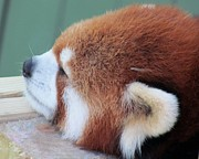 Panda Bears Photos - Red Panda Napping by Lori Lafargue
