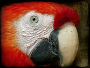 Red Birds Posters - Red Parrot Poster by Angela Doelling AD DESIGN Photo and PhotoArt