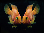 Black Background Art - Red Parrot Fish by MariClick Photography
