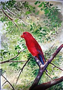 Jason Sentuf - Red Parrot of Papua
