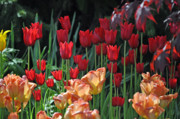 Bulbs Photos - Red Passion Tulip Blend by Debra  Miller